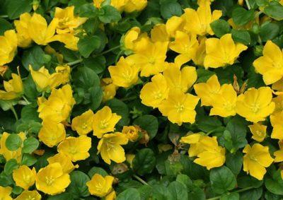 花を咲かせたリシマキア・ヌンムラリア