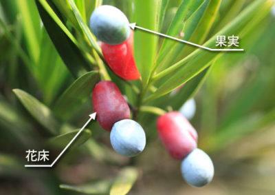 ラカンマキの果実
