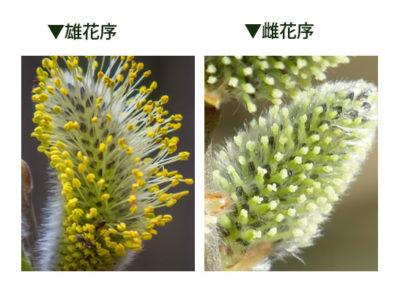 雄花と雌花