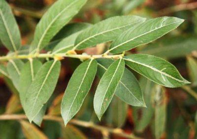 ネコヤナギの葉