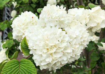 オオデマリの花序