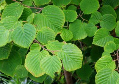 ヒュウガミズキの葉