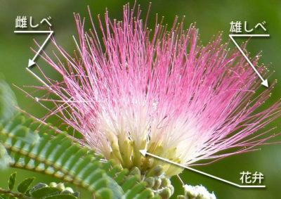 ネムノキの花の構造