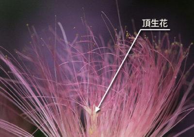 ネムノキの頂生花