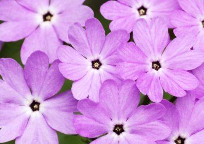 サクラソウの短花柱花