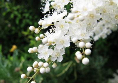 ニワナナカマドの花