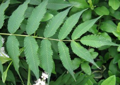 ニワナナカマドの葉