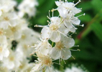ホザキナナカマドの花