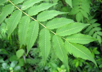 ホザキナナカマドの葉