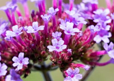 ヤナギハナガサ(三尺バーベナ)の花