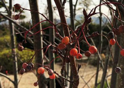 アズキナシの果実