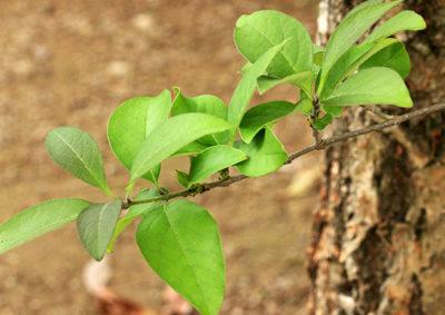 ヒトツバタゴの葉
