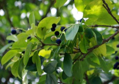 ヒトツバタゴ(ナンジャモンジャノキ)の果実