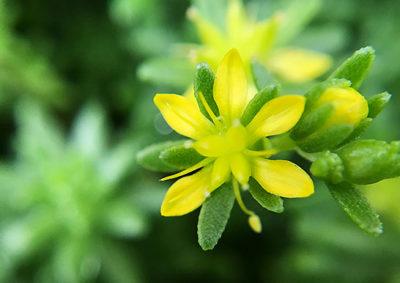 モリムラマンネングサの花