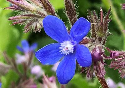 アンチューサの花