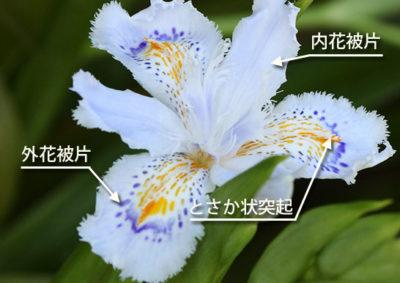 シャガの花の構造