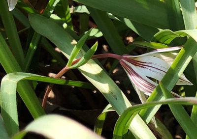 アマナの花茎の苞