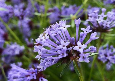 タマクルマバソウの花序