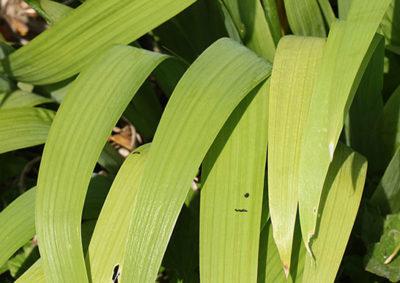 イチハツの葉