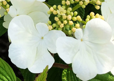 ヤブデマリの装飾花