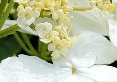 ヤブデマリの両性花