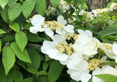ヤブデマリの花序