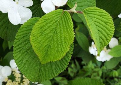 ヤブデマリの葉