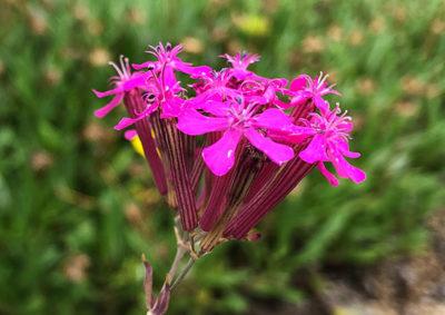 ムシトリナデシコの花と萼