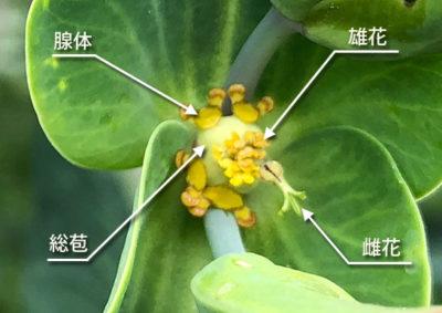ホルトソウの杯状花序の構造