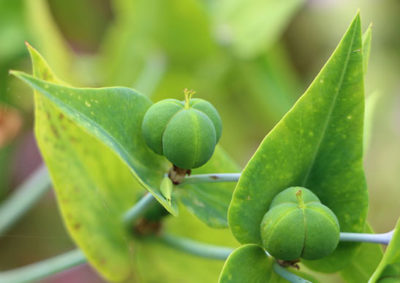 ホルトソウの果実