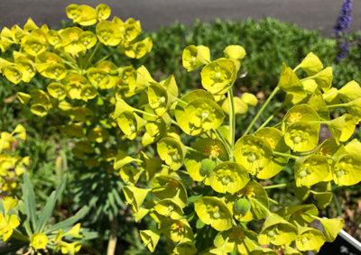 ユーフォルビア・カラキアスの花序の様子