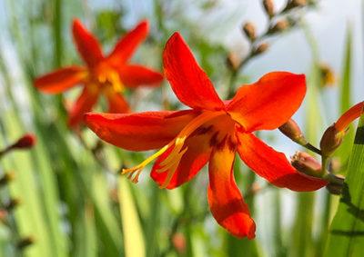 ヒメヒオウギズイセンの花