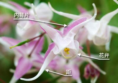 イカリソウの花の構造