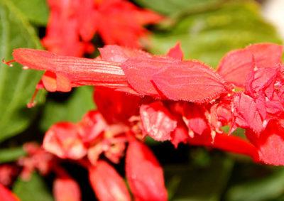 サルビア・スプレンデンスの花