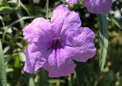 ヤナギバルイラソウの花