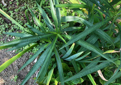ヤナギバルイラソウの葉