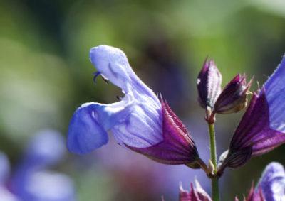 コモンセージの唇形花