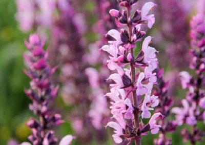 ピンク色の花を咲かせるコモンセージ(サルビア・オフィシナリス)