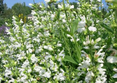 白い花を咲かせるコモンセージ(サルビア・オフィシナリス)