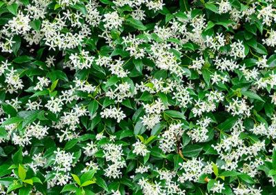 たくさんの花を咲かせたスタージャスミン