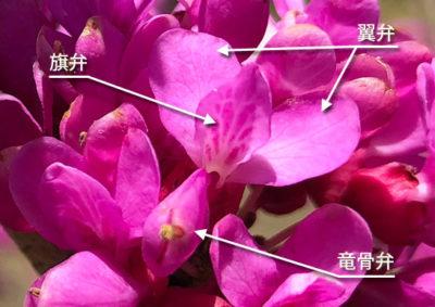 ハナズオウの花の構造