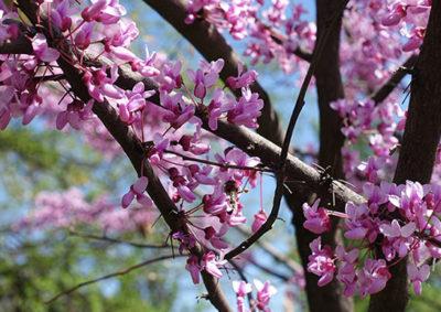アメリカハナズオウの花