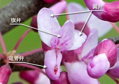 アメリカハナズオウの花の構造