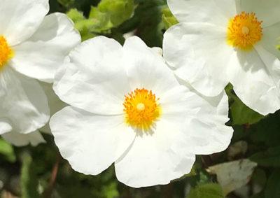 シスタスの花