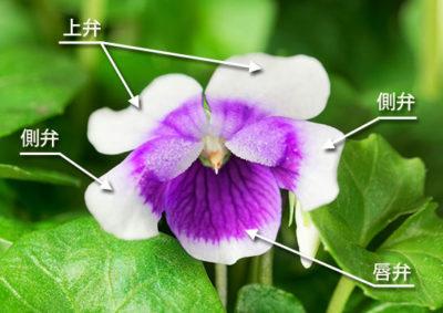 パンダスミレの花の構造