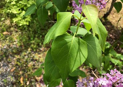 ライラックの葉の様子