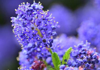 セアノサスの花序
