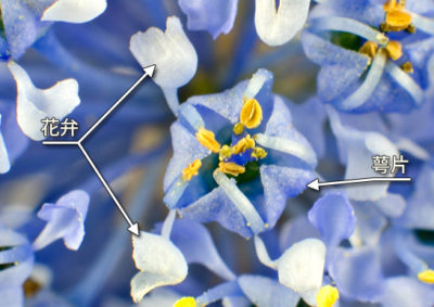 セアノサスの花の構造