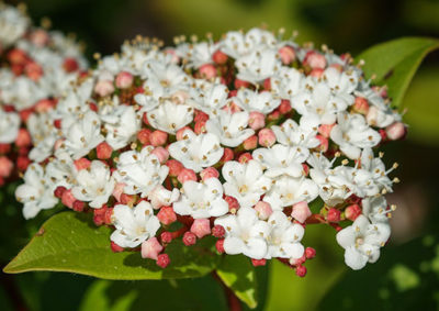 ビバーナムの花