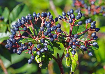 ビバーナムの果実